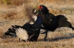 black grouse (Tetrao tetrix)